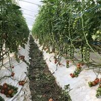 2018/03/30 八代トマト圃場のサムネイル