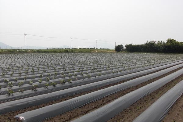 2012/05/12 開聞芋植え