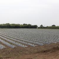 2012/05/12 開聞芋植えのサムネイル