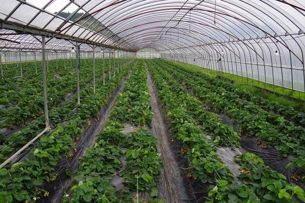 2015/04/14 大楠農産 イチゴ農園