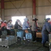 2014/11/27 大楠農産開聞農場(さつま芋)のサムネイル