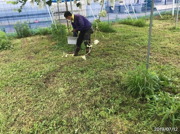 2019/07/12 川越市Kさんブドウ圃場に土壌改良のサムネイル