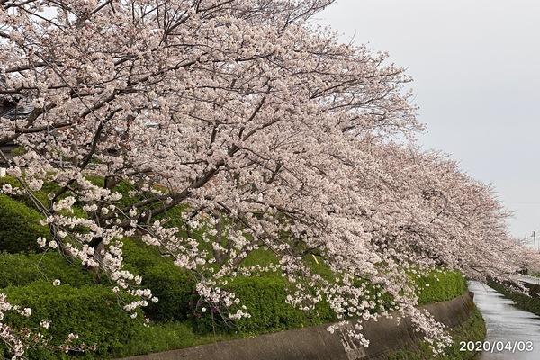 2020/04/03 仁風庵の桜のサムネイル