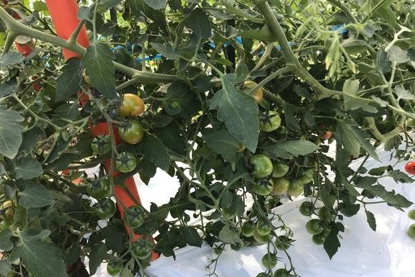2018/10/18 八代Oさん農園のトマト