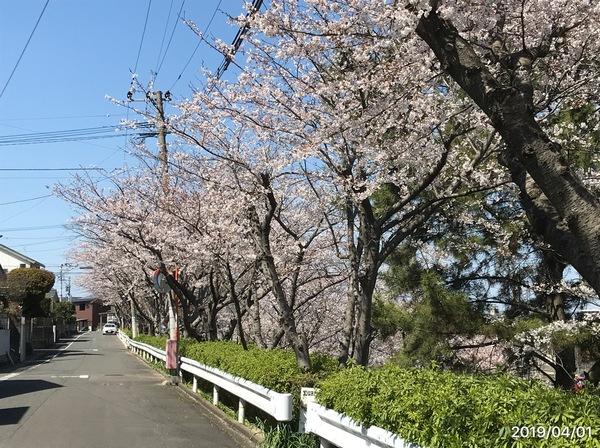 2019/04/01 仁風庵の桜のサムネイル