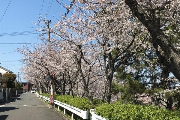 2019/04/01 仁風庵の桜
