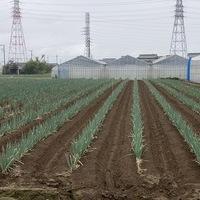 2020/09/12 深谷市O農場トマト定植のサムネイル