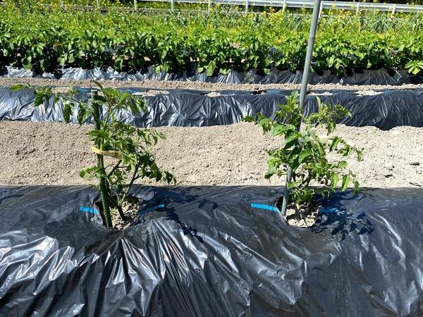 2021 04 10 極寒の定植を生延びたトマト